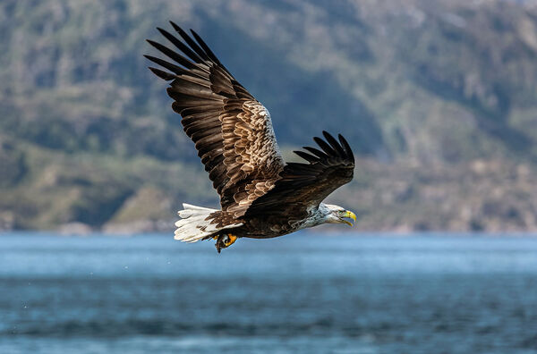 White-tailed Sea Eagle with Catch