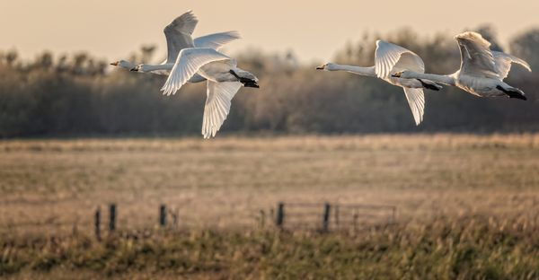 Whooper Swans Over Welney