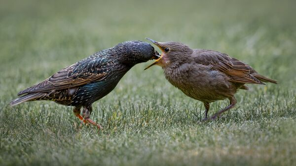 Young Starling Feed