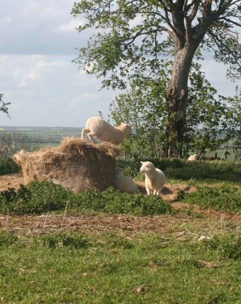 Gamboling Lambs