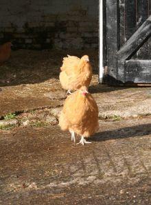 Walking Hens