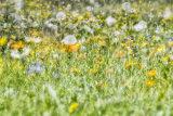 Talia o della fioritura