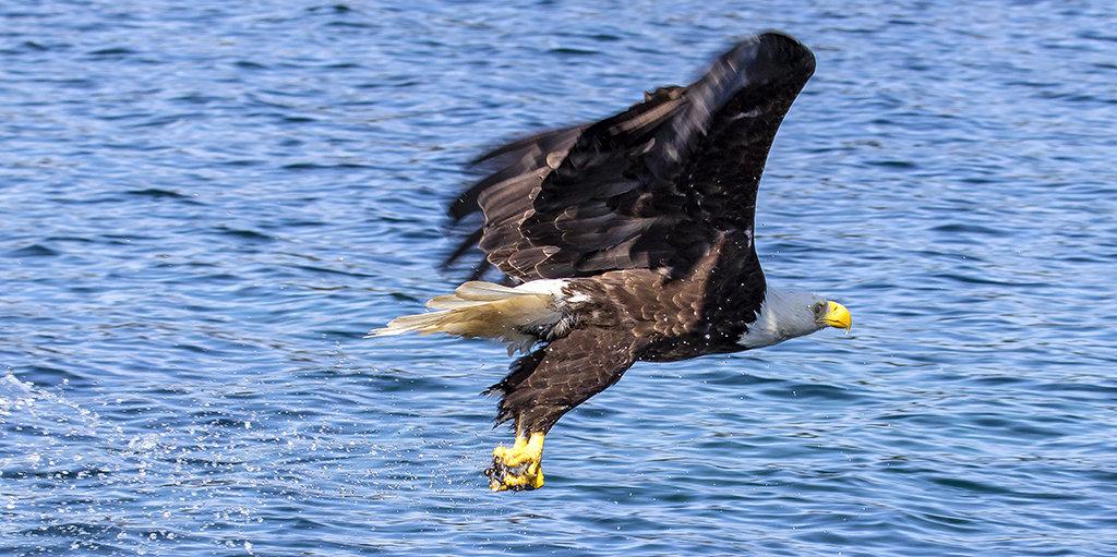 Bald Eagle in flight!