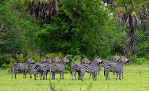 A Dazzle of Zebras.