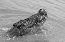 Crocodile Monochrome