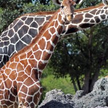 Giraffe 2888