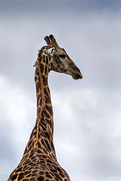 A Long Came A Giraffe