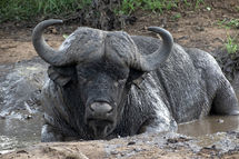 Buffalo Mud Bath.