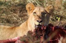 Lion Kill!
