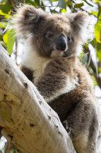Koala in the Wild.