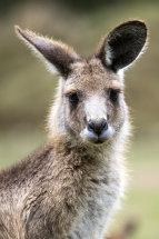 Kangaroo Portrait