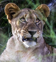 African Lion.