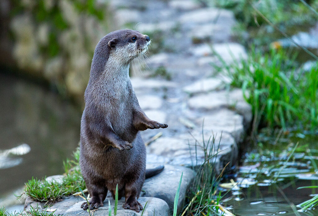 Otter On Guard