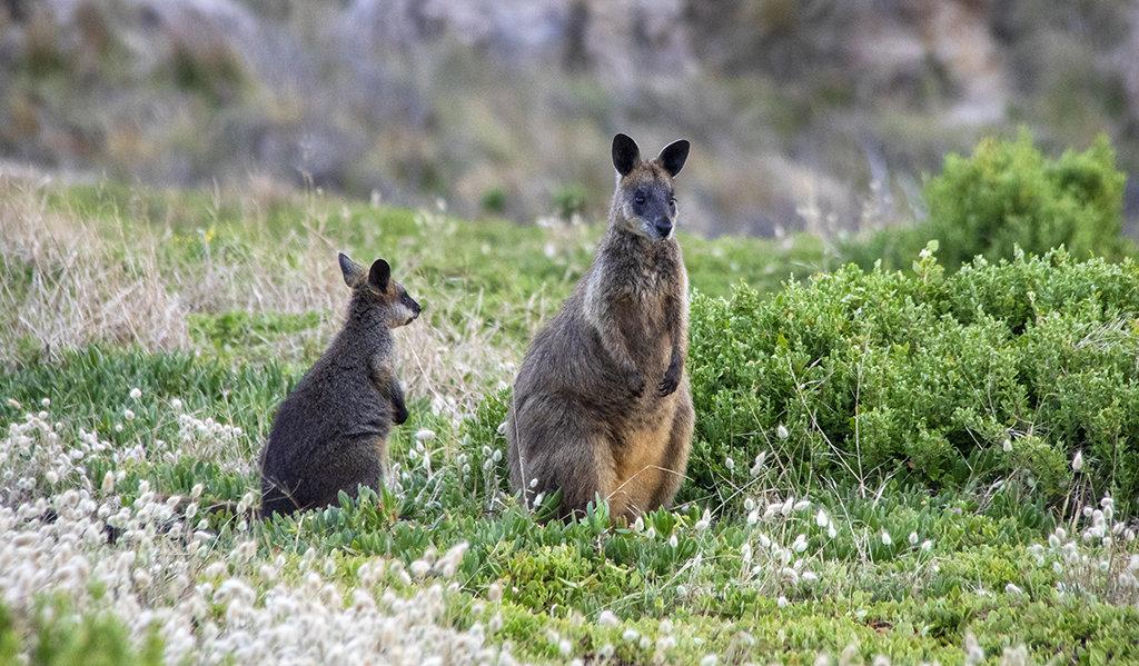 Kangaroo & her Joey.