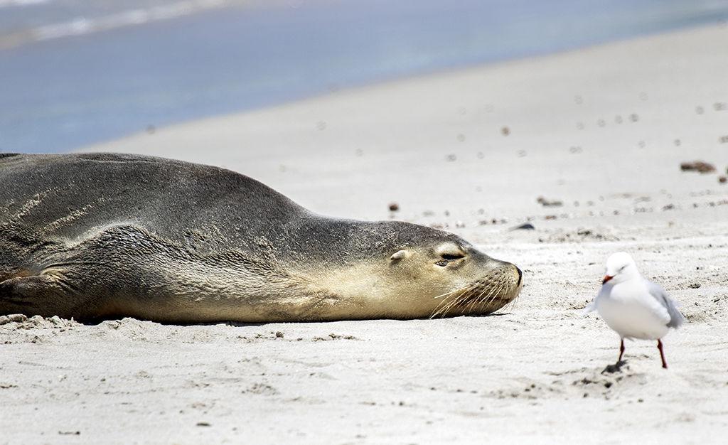 Sleeping Seal.