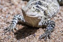 Lizard 4326