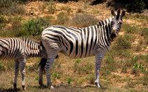 Nurturing Zebra