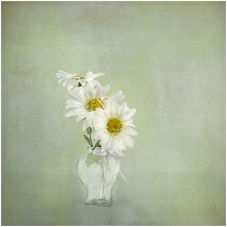 Three White Daisies in Glass Vase