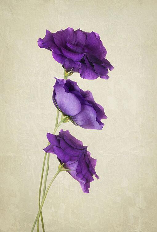 A Trio of Purple