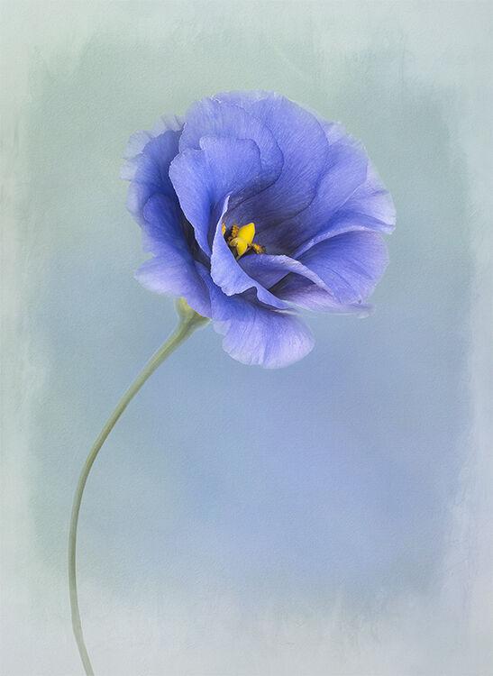 Blue Eustoma