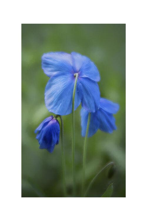 Blue Poppy 1