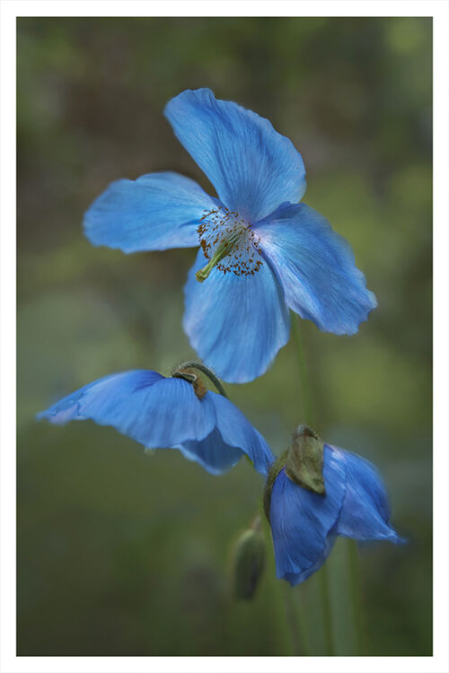 Blue Poppy 2