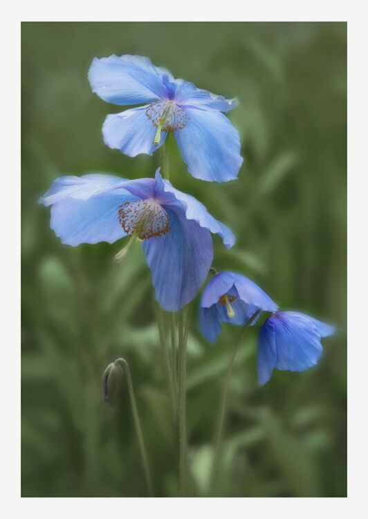 Blue Poppy 4