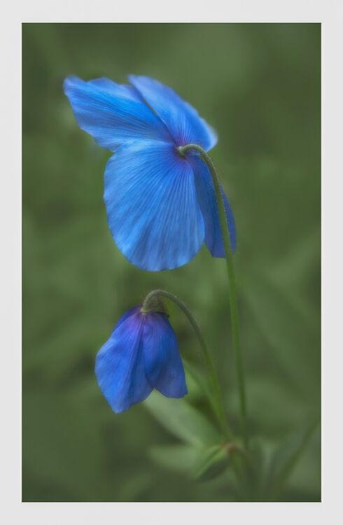 Blue Poppy 5