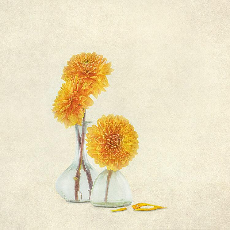 Golden Dahlia