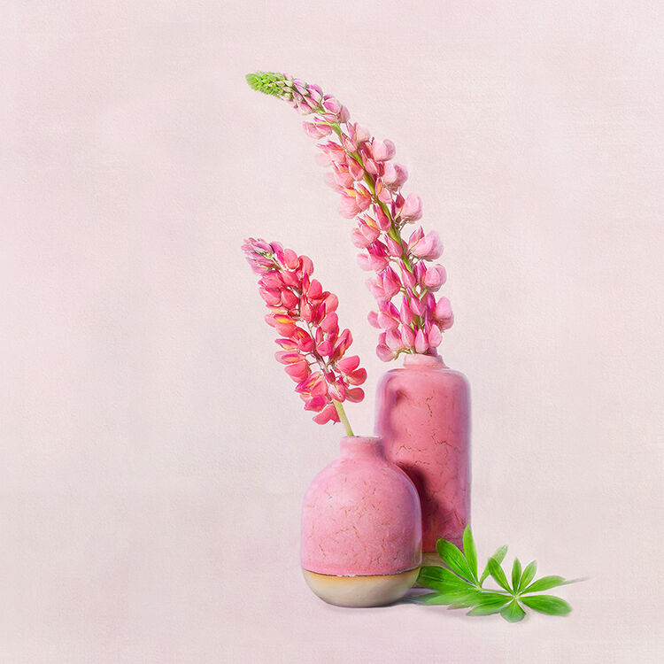 Lupines in Pink