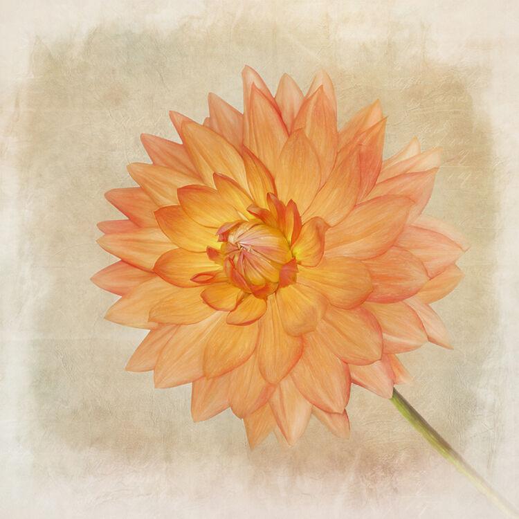 Orange Dahlia Portrait
