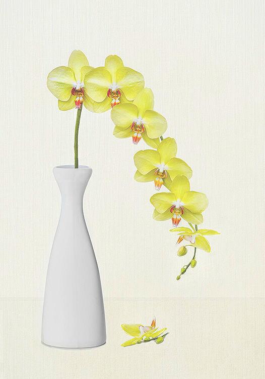 Pale lemon Orchids in White Vase