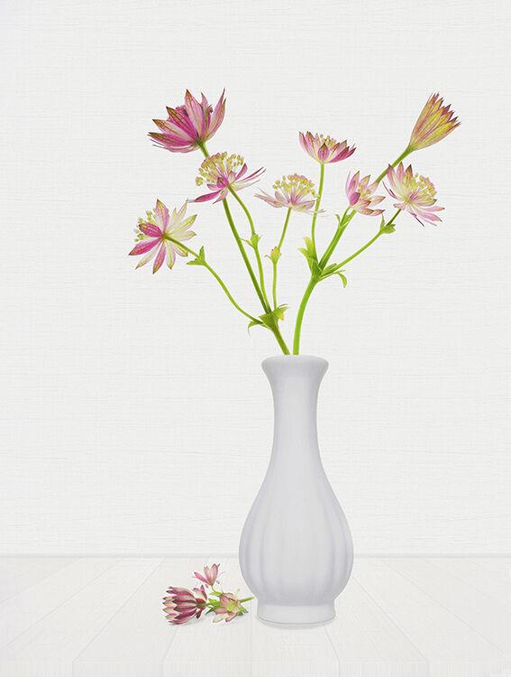 Pink Astrania in White Vase