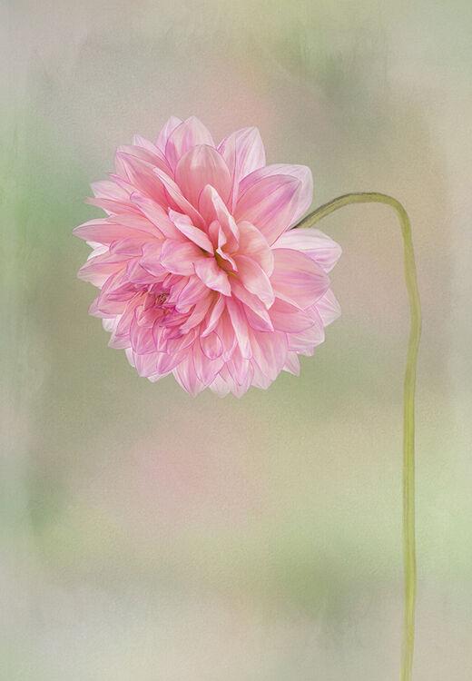 Pink Dahlia Portrait
