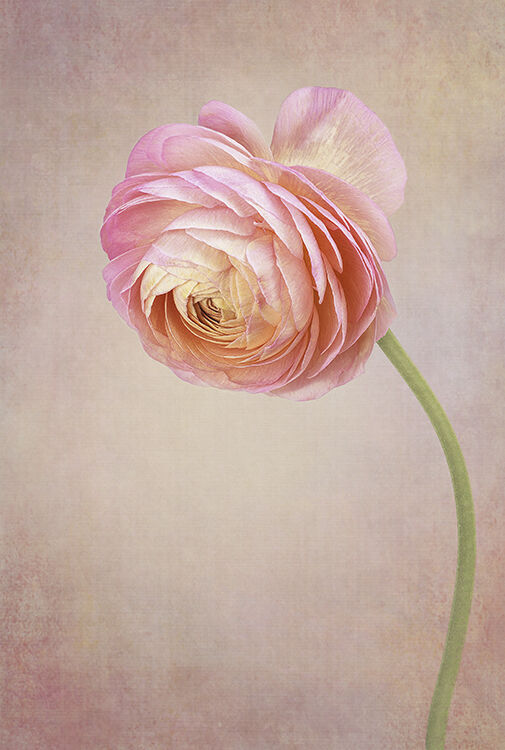 Pink Ranunculas Portrait
