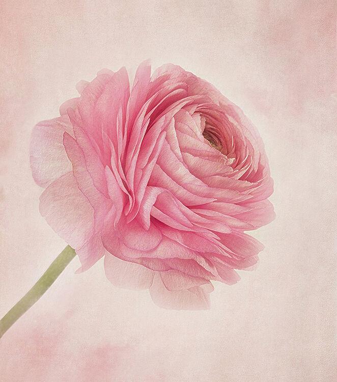 Single Pink Ranunculas