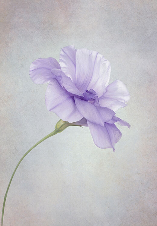 Single Purple Eustoma