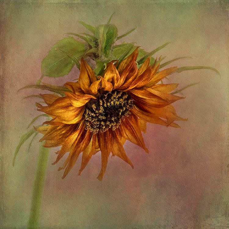 Single Sunflower Portrair