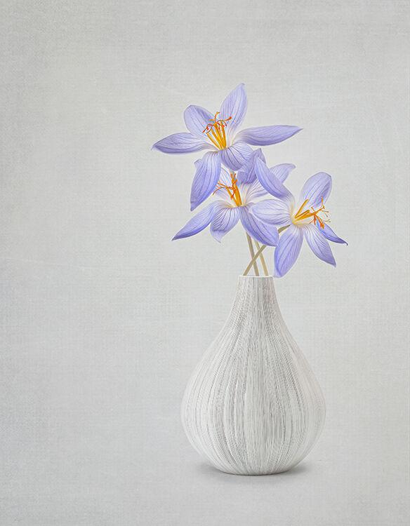 Three Blue Crocus in Grey Vase