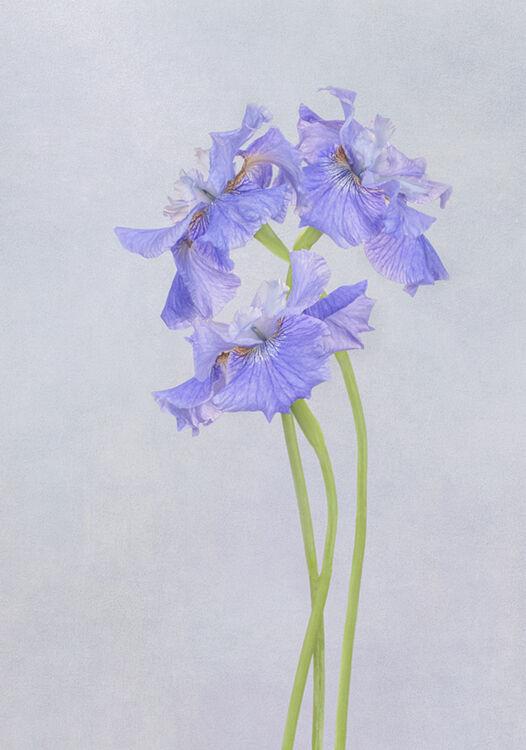 Three Blue Iris