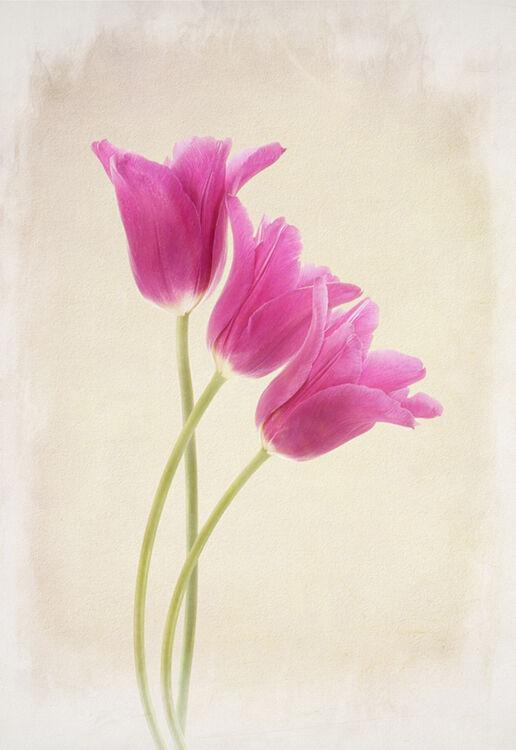 Three Cerise Tulips