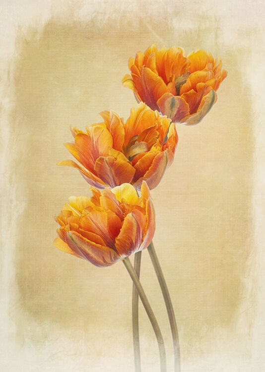 Three Orange Parrot Tulips