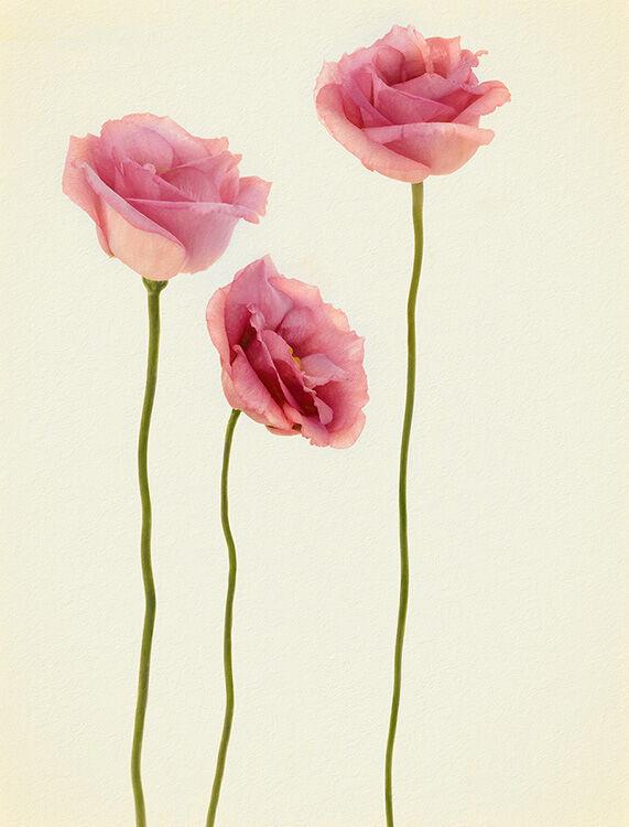 Three Pink Eustoma