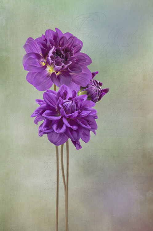 Three Purple Dahlia