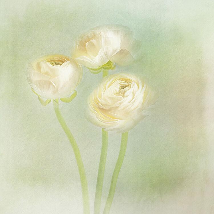 Three White Rancunculus