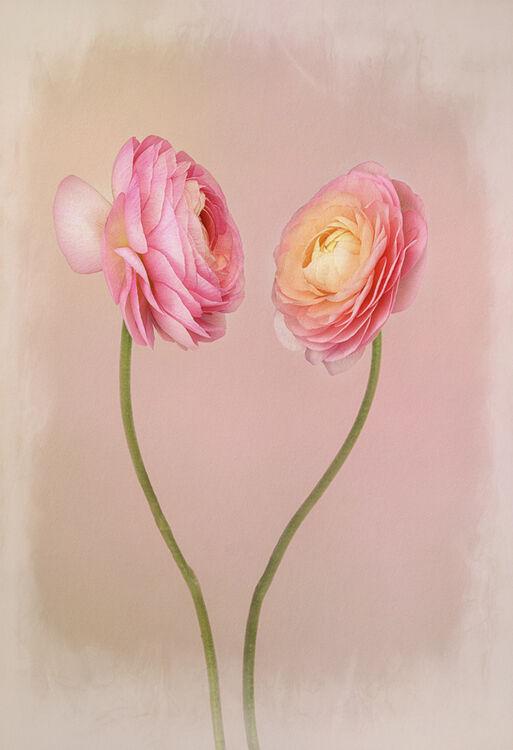 Two Pink Ranuinculas