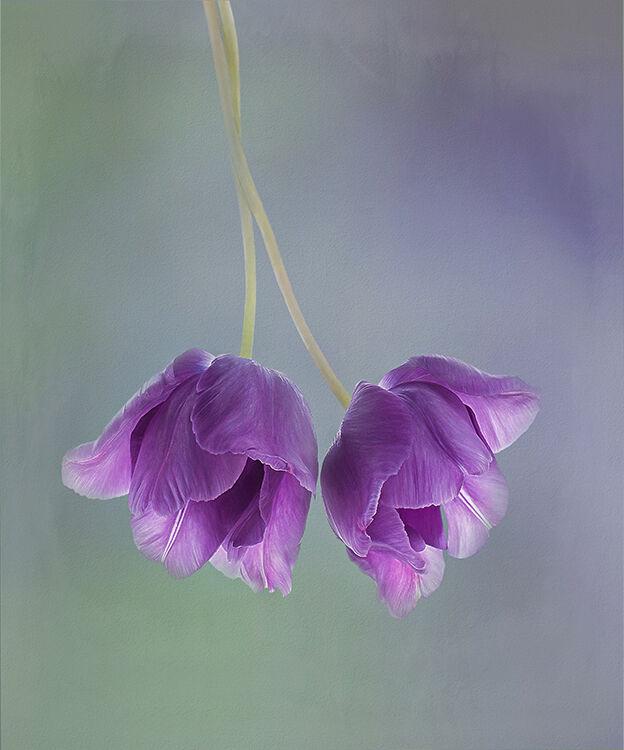 Two Purple Tulips Turned