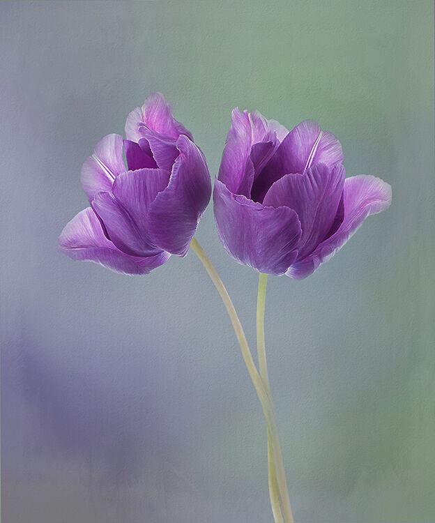 Two Purple Tulips Upright