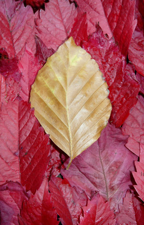 Beech leef on parthenocissus leaves