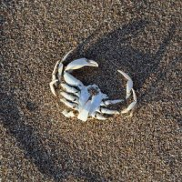 Crab Skeleton 2